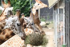 Dierenpark-Amersfoort-356-Giraffes