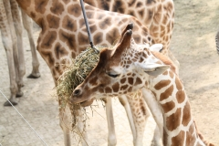 Dierenpark-Amersfoort-360-Giraffe