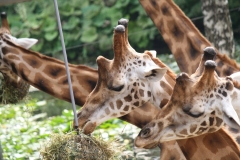 Dierenpark-Amersfoort-361-Giraffes