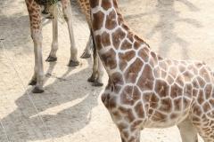 Dierenpark-Amersfoort-368-Giraffe