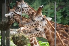 Dierenpark-Amersfoort-370-Giraffes