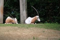 Dierenpark-Amersfoort-415-Algazelle