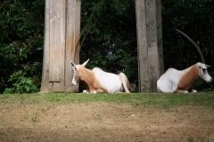 Dierenpark-Amersfoort-417-Algazelle