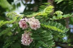 Floriade-2012-171-Acacia