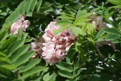 Floriade-2012-172-Acacia