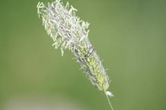 2012-Gras-met-kleine-wants-in-de-buurt-van-Heijenrath-Slenaken