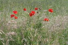 2012-Klaprozen-en-distels-tussen-het-gras-in-Beutenaken