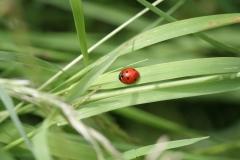 2012-Lieveheersbeestje-op-grasspriet-in-Lemiers-1