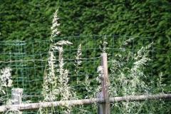 2013-Bloeiend-gras-in-Cadier-en-Keer-3