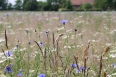 2015-Grassoorten-en-korenbloemen-in-Sint-Odiliënberg