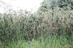 Sweijkhuizen-009-Bloeiend-gras-en-graan