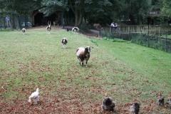 005-Kippen-bokken-en-geiten