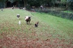007-Kippen-bokken-en-geiten