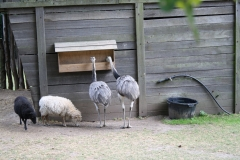023-Nandoes-en-schapen