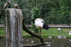 204-Heilige-Ibis