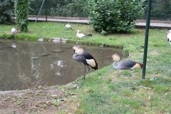 207-Zuidelijke-Kroonkraanvogels