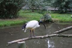 229-Heilige-Ibis