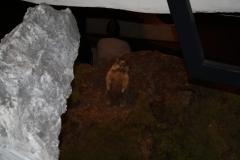 Mittersill-Nationaal-Park-Centrum-Hohe-Tauern-003-Marmot