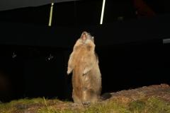 Mittersill-Nationaal-Park-Centrum-Hohe-Tauern-031-Marmot