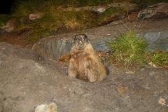 Mittersill-Nationaal-Park-Centrum-Hohe-Tauern-032-Marmot