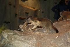 Mittersill-Nationaal-Park-Centrum-Hohe-Tauern-033-Stoeiende-marmotten