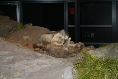 Mittersill-Nationaal-Park-Centrum-Hohe-Tauern-041-Stoeiende-marmotten