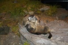 Mittersill-Nationaal-Park-Centrum-Hohe-Tauern-042-Stoeiende-marmotten