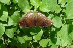 St.-Maarten-0862-The-Butterfly-Farm-Bruine-vlinder