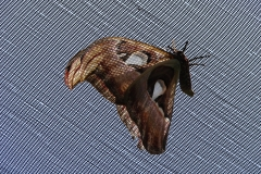 St.-Maarten-0863-The-Butterfly-Farm-Vlinder-op-overdekkend-gaas