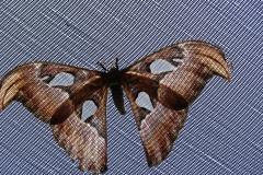 St.-Maarten-0864-The-Butterfly-Farm-Vlinder-op-overdekkend-gaas