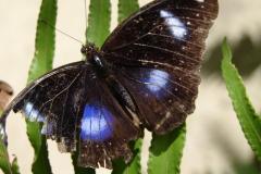 St.-Maarten-0865-The-Butterfly-Farm-Vlinder-met-blauwe-ogen