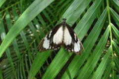 St.-Maarten-0866-The-Butterfly-Farm-Zwart-witte-vlinder
