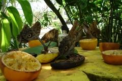St.-Maarten-0867-The-Butterfly-Farm-Vlinders-op-fruit