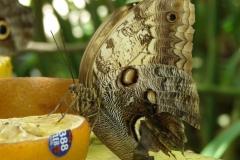 St.-Maarten-0868-The-Butterfly-Farm-Vlinders-op-fruit