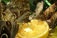 St.-Maarten-0869-The-Butterfly-Farm-Vlinders-op-fruit