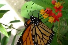 St.-Maarten-0877-The-Butterfly-Farm-Oranje-Vlinder-op-bloem