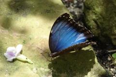 St.-Maarten-0878-The-Butterfly-Farm-Blauwe-vlinder