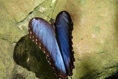St.-Maarten-0880-The-Butterfly-Farm-Blauwe-vlinder
