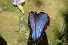 St.-Maarten-0882-The-Butterfly-Farm-Blauwe-vlinder