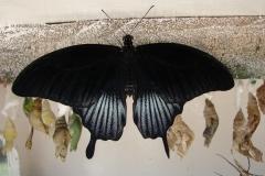 St.-Maarten-0883-The-Butterfly-Farm-Zwarte-vlinder