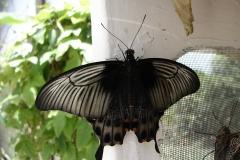 St.-Maarten-0884-The-Butterfly-Farm-Zwarte-vlinder