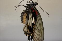St.-Maarten-0885-The-Butterfly-Farm-Vlinder-uit-pop