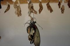 St.-Maarten-0886-The-Butterfly-Farm-Vlinder-uit-pop