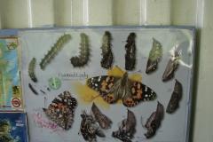 St.-Maarten-0889-The-Butterfly-Farm-Vlinderkaart