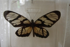 St.-Maarten-0891-The-Butterfly-Farm-Vlinder-achter-glas