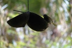 St.-Maarten-0898-The-Butterfly-Farm-Vogel-op-voerbakje
