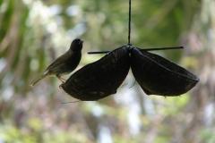 St.-Maarten-0899-The-Butterfly-Farm-Vogel-op-voerbakje