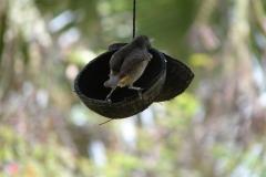 St.-Maarten-0901-The-Butterfly-Farm-Bogel-op-voerbakje