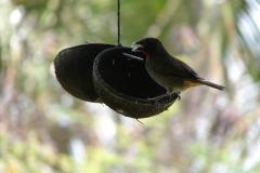 St.-Maarten-0902-The-Butterfly-Farm-Vogel-op-voerbakje