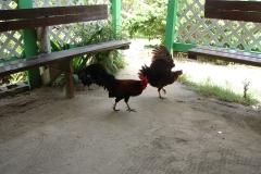 St.-Maarten-0904-The-Butterfly-Farm-Haan-en-kip